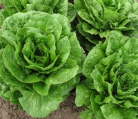 FDA Investigating Multistate Outbreak of E. coli O157:H7 Infections Likely Linked to Romaine Lettuce Grown in California